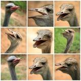 Un collage delle foto dello struzzo dall'azienda agricola Immagine Stock