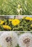 Un collage des images des pissenlits Photographie stock