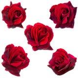 Un collage di cinque rose rosso scuro fotografia stock libera da diritti