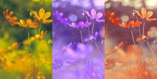 Un collage di tre foto con i fiori dell'universo Raccolta dei fiori Fotografia Stock