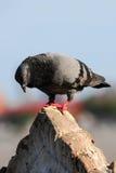 Un colombaccio curioso Fotografie Stock Libere da Diritti