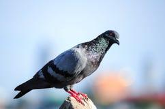 Un colombaccio curioso Immagine Stock