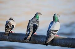 Un colombaccio curioso appollaiato su un ceppo Fotografie Stock Libere da Diritti