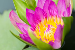 Un color de rosa hermoso waterlily Imágenes de archivo libres de regalías