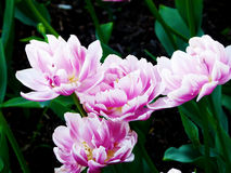 Un color rosa claro asombroso de los tulipanes Fotografía de archivo