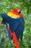Un color scarlatto del Macaw Immagine Stock