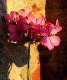 Un colore è una pianta, fiore rosso Fotografia Stock Libera da Diritti