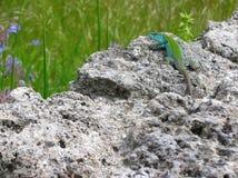 Un colore della Bi della lucertola verde su una roccia su un pezzo di erba verde da balzare L'Italia Immagini Stock