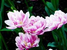 Un colore rosa-chiaro stupefacente dei tulipani Fotografia Stock