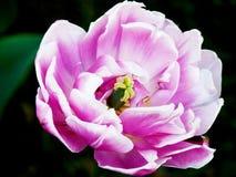 Un colore rosa-chiaro stupefacente del tulipano Fotografie Stock Libere da Diritti
