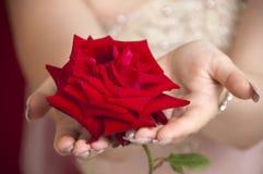Un colore rosso è aumentato Fotografie Stock
