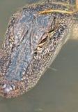 Un colpo capo alto di fine di giovane alligatore della Luisiana che galleggia in uno stagno Immagine Stock