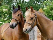 Un colpo capo di due cavallini Immagine Stock Libera da Diritti