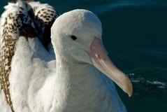 Un colpo capo di grande albatro, mostrante il suo becco magnifico fotografia stock