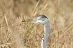 Un colpo capo sbalorditivo di bello Grey Heron Ardea cinerea fotografie stock