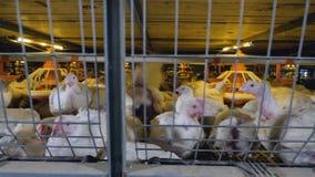 Un colpo che si muove lungo un livello di gabbie che mostrano i polli da arrosto  video d archivio