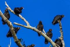 Punto di vista del primo piano degli avvoltoi di Turchia (poiane) che cercano un pasto del Texas Immagine Stock