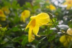 Un colpo delle gocce di pioggia sul fiore giallo fotografia stock libera da diritti