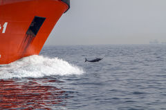 Un colpo di un delfino che pratica il surfing su un'onda immagine stock libera da diritti
