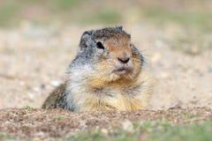 Un columbianus colombiano di Urocitellus dello scoiattolo a terra cerca l'alimento vicino alla sua casa nell'erba immagine stock libera da diritti