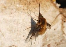 Un comandante de Bombylius de la Abeja-mosca Imágenes de archivo libres de regalías