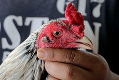 Un combat de coq photo stock