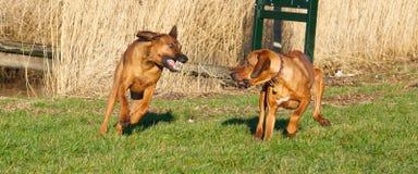 Un combattimento dei due cani Immagini Stock