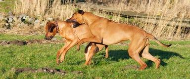 Un combattimento dei due cani Immagine Stock
