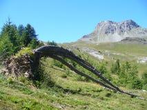 Un combattimento dell'albero da sopravvivere a dopo una tempesta nelle alpi francesi Fotografia Stock