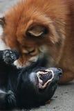 Un combattimento di due cani Immagini Stock Libere da Diritti