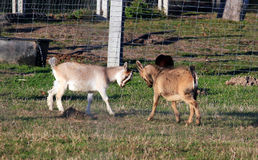 Un combattimento di due capre del bambino Fotografia Stock Libera da Diritti