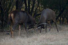Un combattimento di due cervi del sambar Immagini Stock