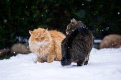 Un combattimento di due gatti Immagini Stock Libere da Diritti