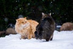 Un combattimento di due gatti Immagini Stock
