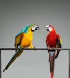 Un combattimento di due pappagalli fotografie stock