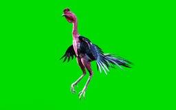 Un combattimento di galli che si muove e che salta Fotografie Stock