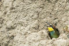 Un comedor de abeja en la jerarquía Fotografía de archivo libre de regalías