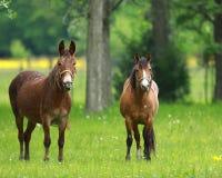 Un compagno del mulo e del cavallo del Missouri fotografie stock