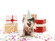 Un con cresta chino del perro en un casquillo festivo del cono se sienta entre las cajas de regalo Aislado en el fondo blanco den Imagen de archivo libre de regalías