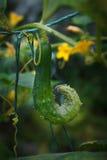 Un concombre Images stock