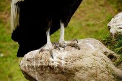 un condor andin photos libres de droits