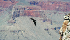 Un condor de Californie Photo libre de droits