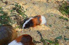 Un conejillo de Indias del bebé forrajea para la comida Imagen de archivo libre de regalías