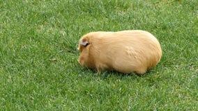 Un conejillo de Indias mastica en hierba almacen de metraje de vídeo