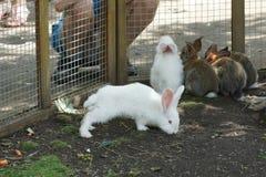 Un conejo blanco mullido divertido detrás de él cuatro más hermanos en el oído fotos de archivo