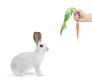 Un conejo blanco y una mano que sostienen una zanahoria Imagenes de archivo