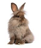 Un conejo de conejito lindo del lionhead del chocolate que se sienta fotos de archivo