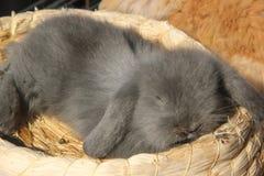 Un conejo de florecimiento del animal doméstico está durmiendo Imagenes de archivo