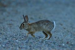 Un conejo juvenil fotografía de archivo