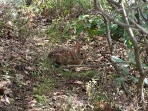 Un conejo salvaje en el coto de Mohonk en el verano Fotografía de archivo